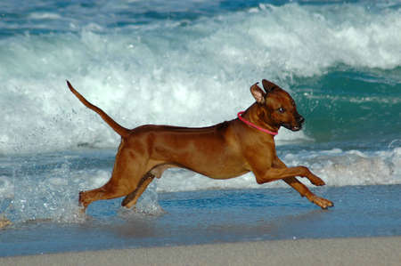 rhodesians: A beautiful active African male Rhodesian Ridgeback hound dog in action with cute expression in the face playing wild by jumping and running fast in the sea on the beach in South Africa in summertime