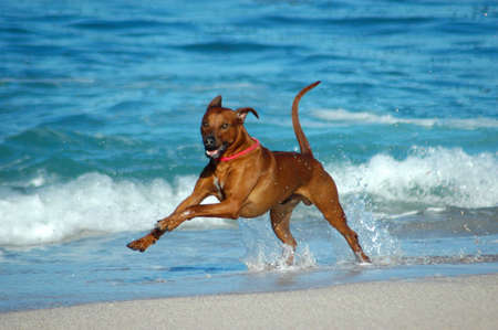 dog health: Un bel maschio attivo africani Rhodesian Ridgeback Hound Dog in azione con cute espressione di fronte a giocare selvatici di salto e rapida esecuzione in mare sulla spiaggia in Sud Africa nel periodo estivo