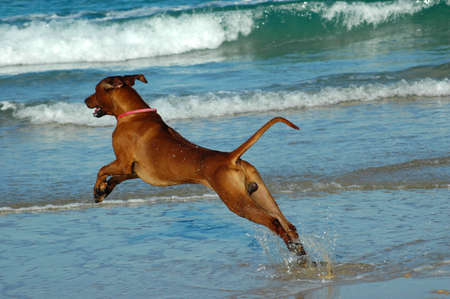 A beautiful active African male Rhodesian Ridgeback hound dog in action with cute expression in the face playing wild by jumping and running fast in the sea on the beach in South Africa in summertime photo
