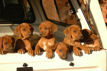 ridgebacks: A beautiful litter of red wheaten African Rhodesian Ridgeback hound dog puppies with cute expression in the faces standing at the door of a pick-up car and watching other dogs in the backyard outdoors