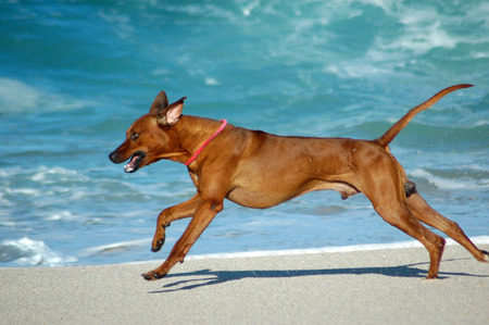 ridgebacks: A beautiful active African male Rhodesian Ridgeback hound dog with happy expression in the face playing wild by jumping and running fast in the sea on the beach in South Africa in summertime  Stock Photo