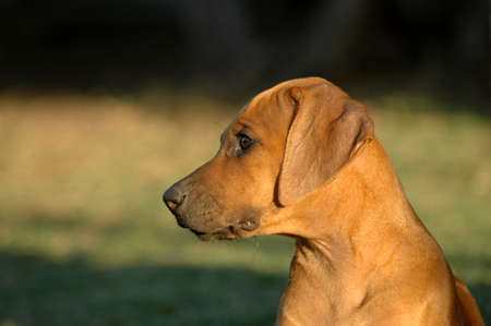 rhodesians: A beautiful little Rhodesian Ridgeback hound puppy dog head profile portrait with sad expression in the face watching other dogs in the park outdoors