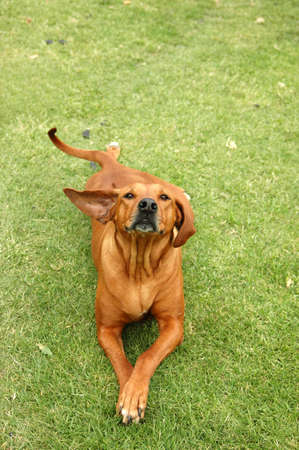 A full body of a beautiful Rhodesian Ridgeback hound dog with cute expression in the face and funny flying ear standing up to the side lying on the grass and watching outdoors photo