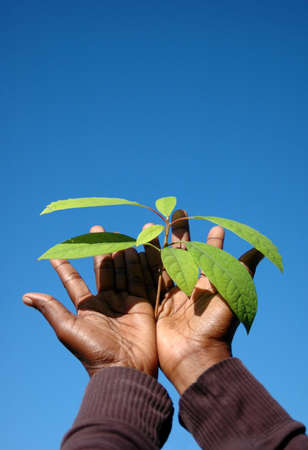 Two young black hands of an African American woman holding the green leaves of a well growing Avocado plant in front of blue sky background outdoors in spring