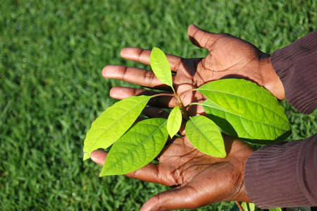 Two young black hands of an African American woman holding the green leaves of a well growing Avocado plant with grass background outdoors in spring