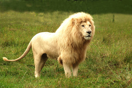 Full body of an African rare white lion with big mane standing in the bushes and staring with alert facial expression in a game park in South Africa  photo