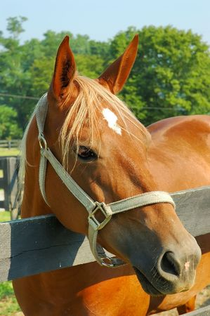 kentucky: A beautiful chestnut colored horse on a farm in Kentucky, USA. Stock Photo