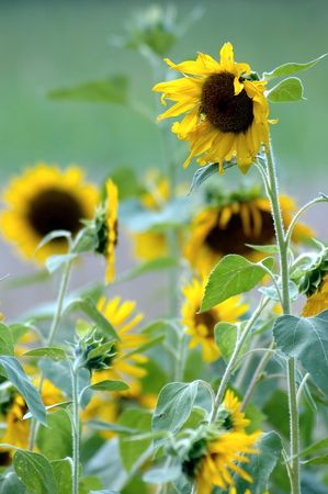 kentucky: Sunflowers on a Kentucky Farm Stock Photo