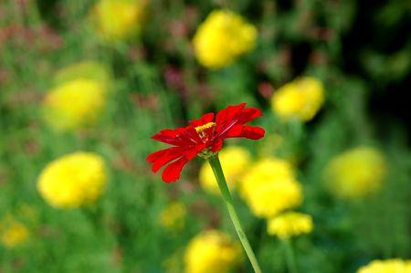 zinnia: Zinnia in the Marigold Garden