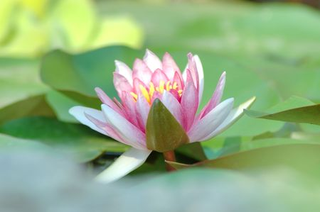 fuschia: Waterlily