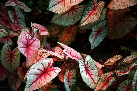 Elephant Ears - Caladium hortulanum  -Large leaves of an elephant ear plant with red veins.
