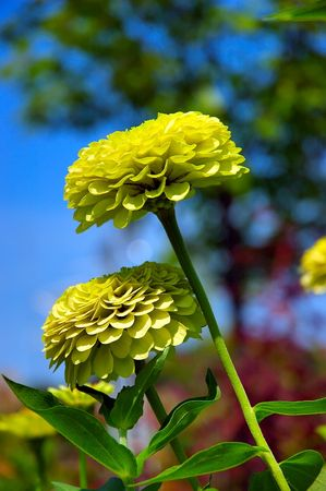Lemon Lime Zinnias isolated from the deep blue background of the sky Stock Photo