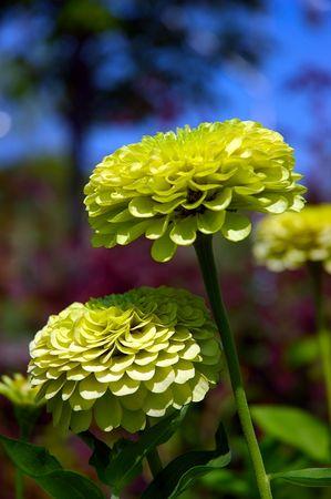 zinnia: Macro of Lemon Zinnia flowers isolated from the deep blue background of the sky