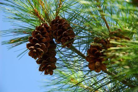 pinecones: Pinecones on the Pine Tree