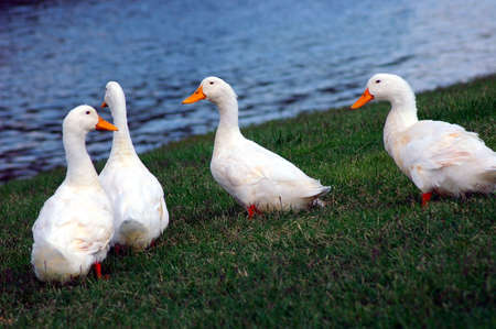 Cygnets -  Swans