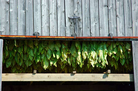 rafters: Tobacco Plants Drying Stock Photo