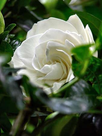 gardenia: Flower - White Wedding Gardenia - a pure white gardenia peeks out of the deep green leaves of the plant. Stock Photo