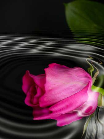 rose bud: Riflessione - un fuschia bello ha colorato il germoglio di rosa riflesso nellacqua di uno stagno freddo e scuro. Archivio Fotografico
