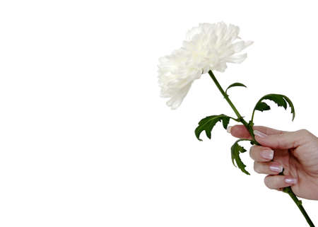 manicured: For You - Female hand with manicured nails holding a beautiful, large white flower in offering.