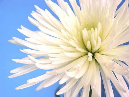 ecard: Mum - A pure white Shuriki Chrysanthemum called a Spider Mum.