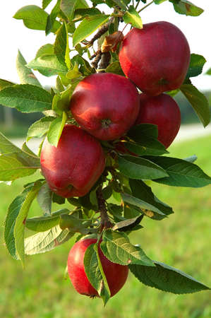 Michigan Apples on the Tree in Fall