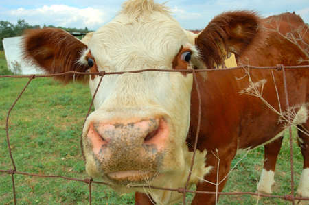 Nosy Cow - A friendly cow pushes her nose through the fence.