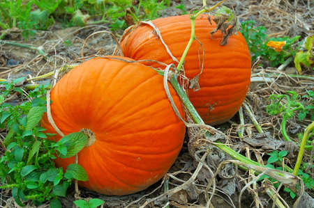 Pumpkins on the vine in the Garden Stock Photo - 239395