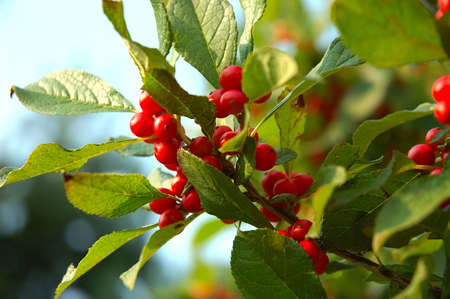 Red berries on the bush. Stock Photo