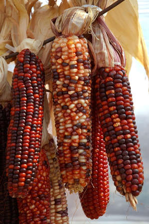 Indian Corn - Decorative colorful dried corn used for fall decorating.