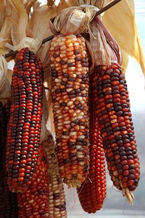 legumbres secas: Ma�z indio - ma�z secado colorido decorativo usado para adornar de la ca�da.