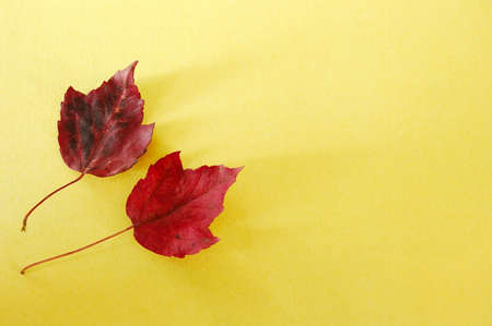 Red Leaves Yellow PaperTwo red maple leaves over yellow cardstock background.