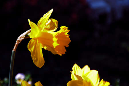 King Alfred Trumpet Narcissus Daffodil (Amaryllidaceae), bright yellow. photo