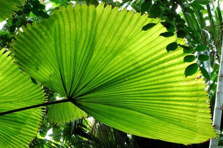 Fan Palm (Licuala elegans) leaf. photo