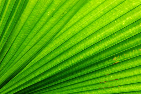 backlights: Fan Palm (Licuala elegans) leaf.