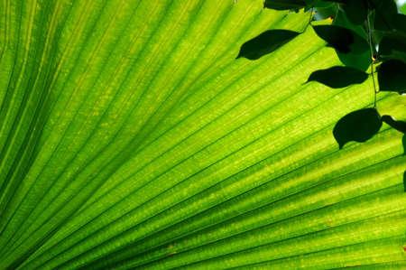 palmate: Fan Palm (Licuala elegans) leaf.