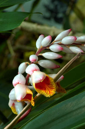 ginger flower plant: Ginger, Kings Scepter, (Alpinia platychilus) Stock Photo
