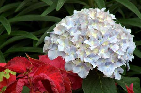 jennifer: Hydrangea Jennifer (hortensia macrophylla Jennifer)