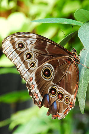 insecta: south american blue morpho (morpho peleides) butterfly