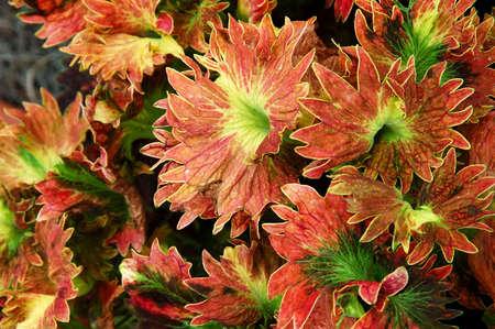Coleus plant, painted nettle (lamiaceae), mint family.  photo