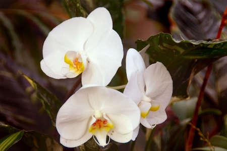 afrodite: Stunning bianco orchidee (phalaenopsis aphrodite piantagione) (doritaenopsis dundee)