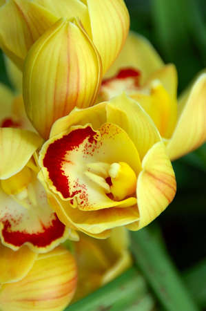 Yellow Lady Slipper Orchid - A beautiful yellow slipper orchid (paphiopedilum)  photo