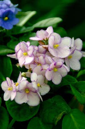 African Violets (saintpaulia)  photo