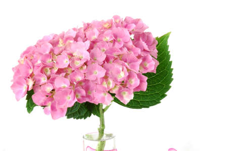 Lacecap Hydrangea (macrophylla  normalis) flower in a vase.   photo
