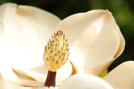 Macro image of a magnolia grandiflora (magnolioideae) tree flower. Also known as a bull bay.  The Magnolia is the official state flower of both Mississippi and Louisiana.