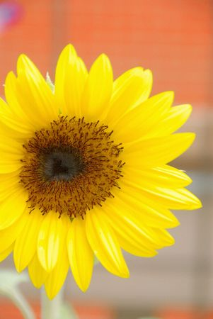helianthus: Sunflower on Canvas - Helianthus annuus, in brilliant yellow.  Stock Photo