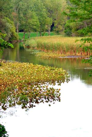 bullrush: Bullrush Cattail Marsh (Typha latifolia).  Stock Photo