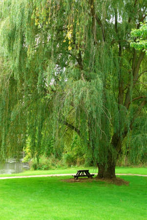 willow tree: Weeping Willow by the Stream - A single picnic table sits in the shade of a huge old weeping willow tree in the lushness of summer.