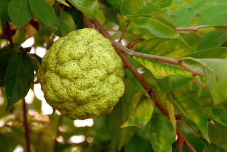 brain stem: Hedgeapple, the brain-shaped fruit of the osage orange tree (Moraceae maclura pomifera).