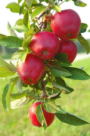 acidic: Michigan apples on the tree in autumn. Stock Photo