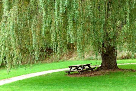 sauces: Llanto Willow - Una sola mesa de picnic se sienta a la sombra de un enorme sauce viejo �rbol llorando en la exuberancia de verano.